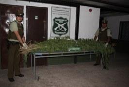 Encuentran más de sesenta plantas de marihuana frente a la Tenencia de Carabineros y el Juzgado de Garantía de Putaendo