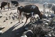 Viajar o Morir: crianceros planean enorme traslado de sus animales al sur para salvarlos de sequía