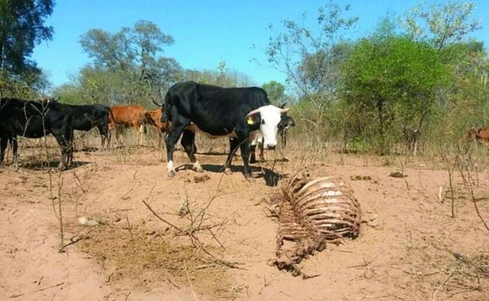 Agricultores del Bio Bio  indican que no es factible trasladar animales desde Putaendo hasta el sur por sequía.